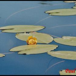 nénuphar jaune-nuphar lutea-nymphéacée