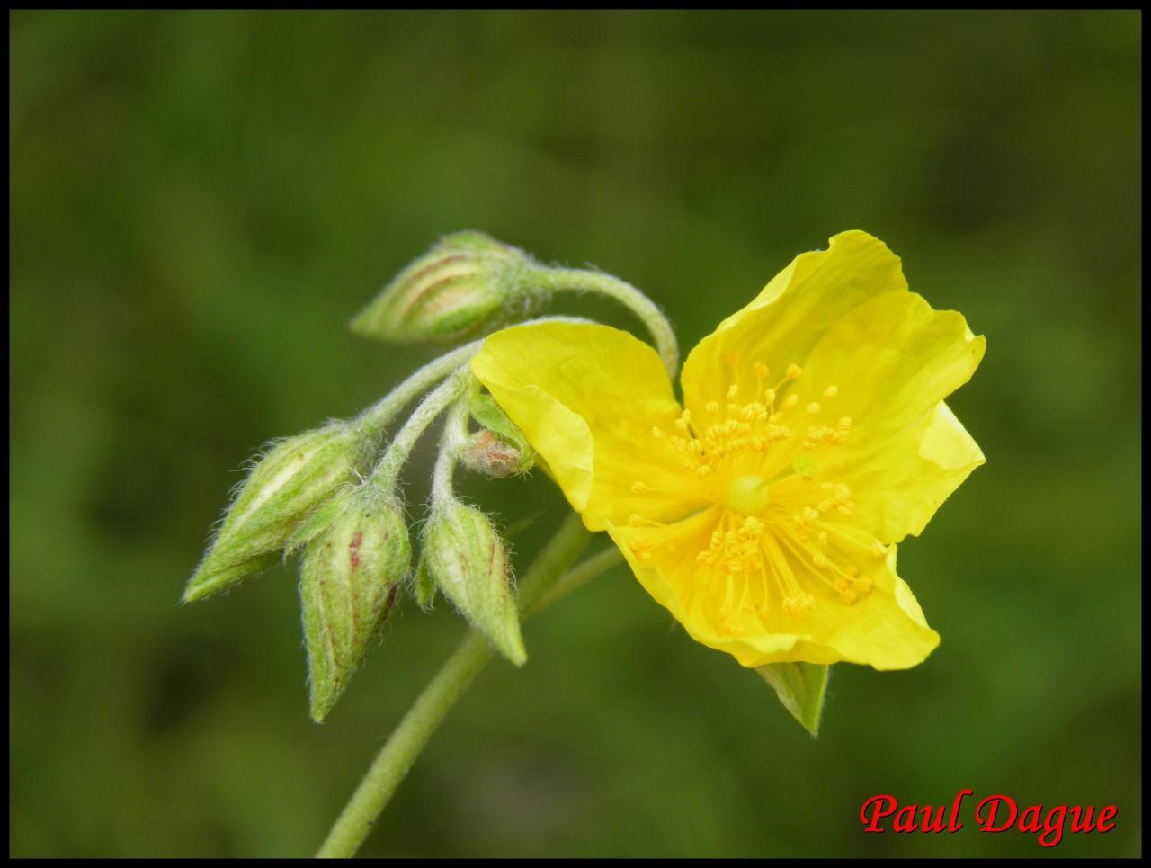 hélianthème sombre-helianthemum nummularium-cistacée
