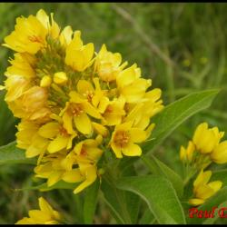 lysimaque commune-lysimachia vulgaris-primulacée
