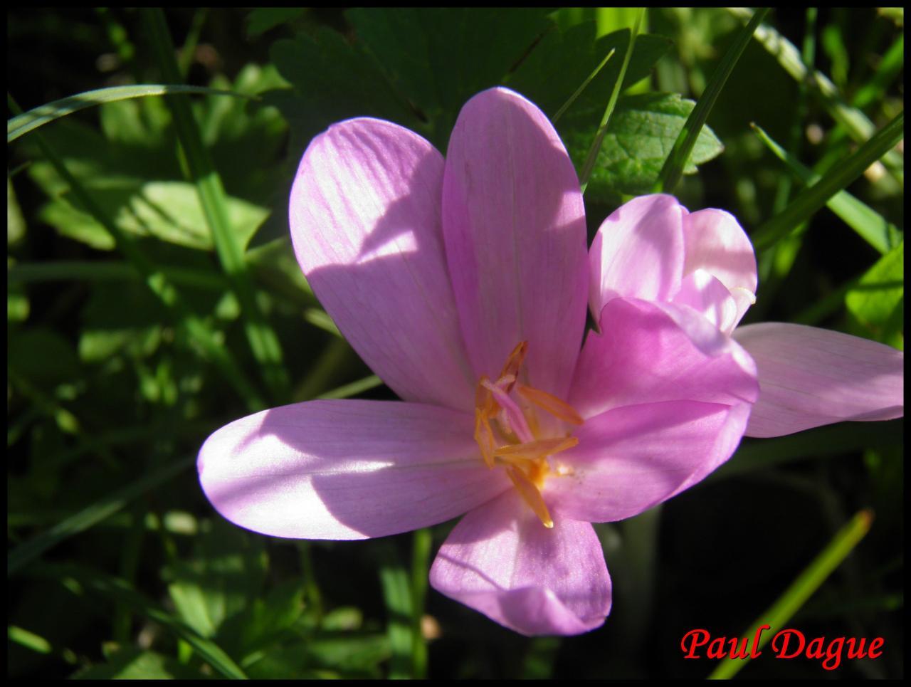 colchique d'automne-colchicum multiflorum-colchicacée
