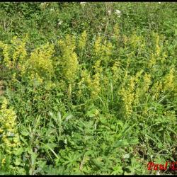 gaillet jaune-galium verum-rubiacée