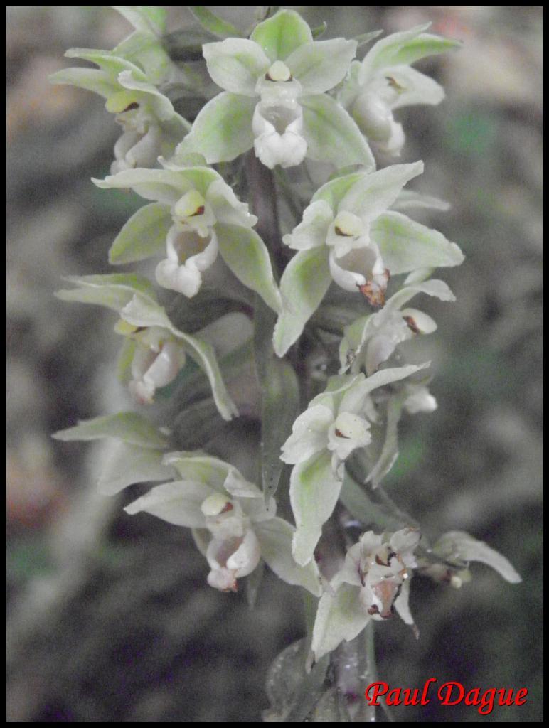 épipactis à feuilles écartées-epipactis distans-orchidacée