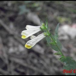 mélampyre des prés-melampyrum pratense-scrophulariacée