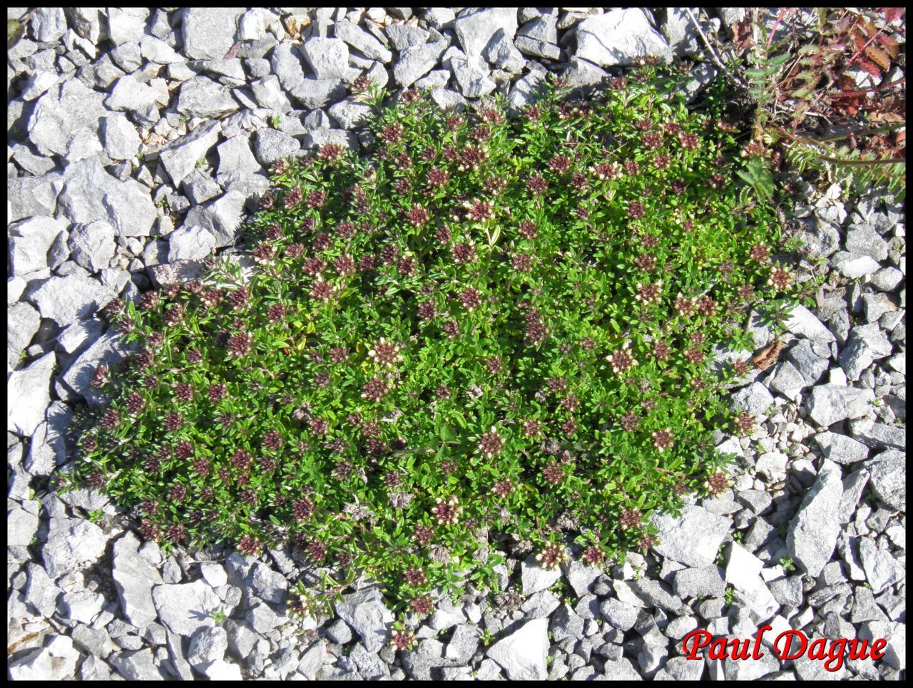 germandrée des montagnes-teucrium montanum-lamiacée