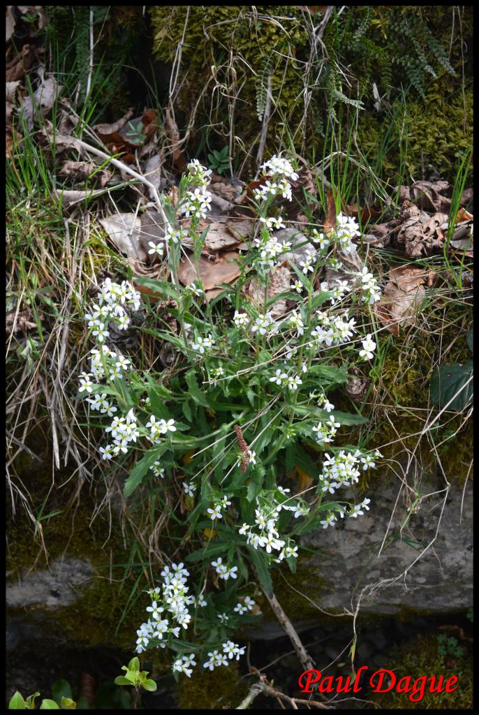 arabette des Alpes-arabis alpina-brassicacée