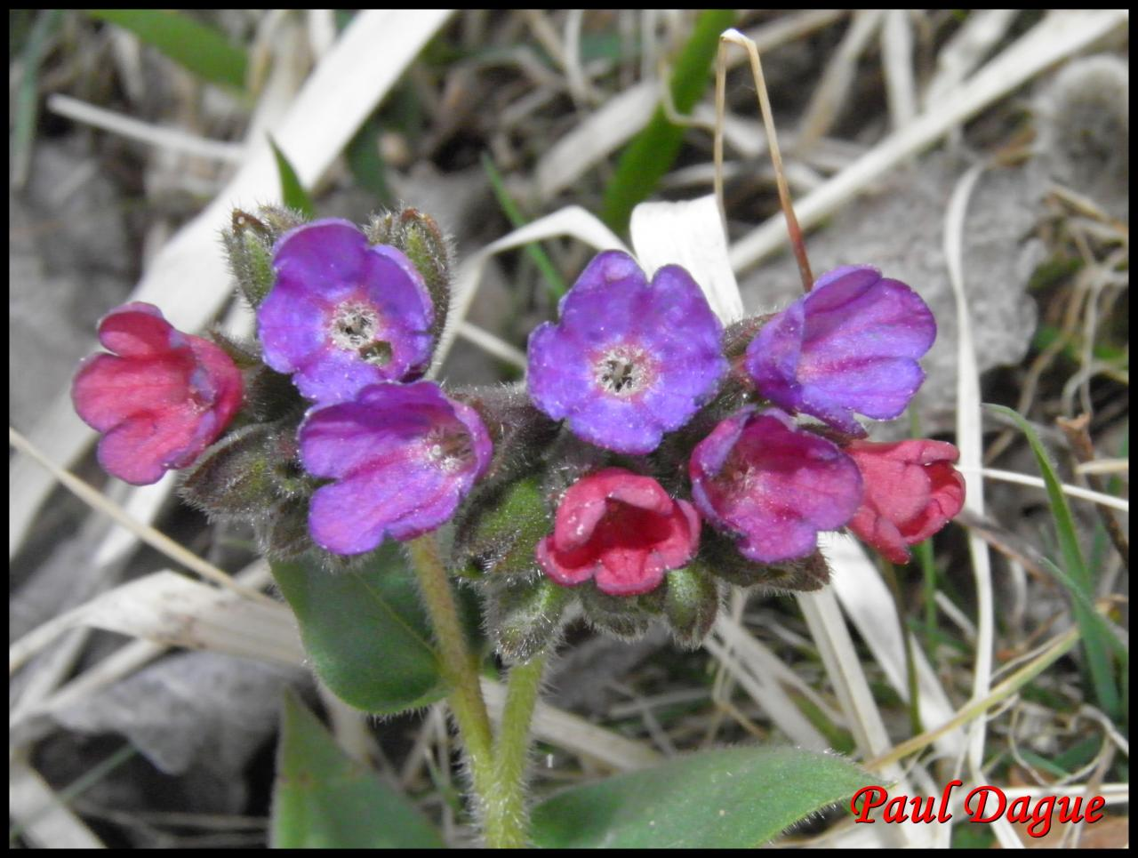 pulmonaire des montagnes-pulmonaria montana-boraginacée