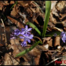 scille à 2 feuilles-scilla bifolia-hyacinthacée