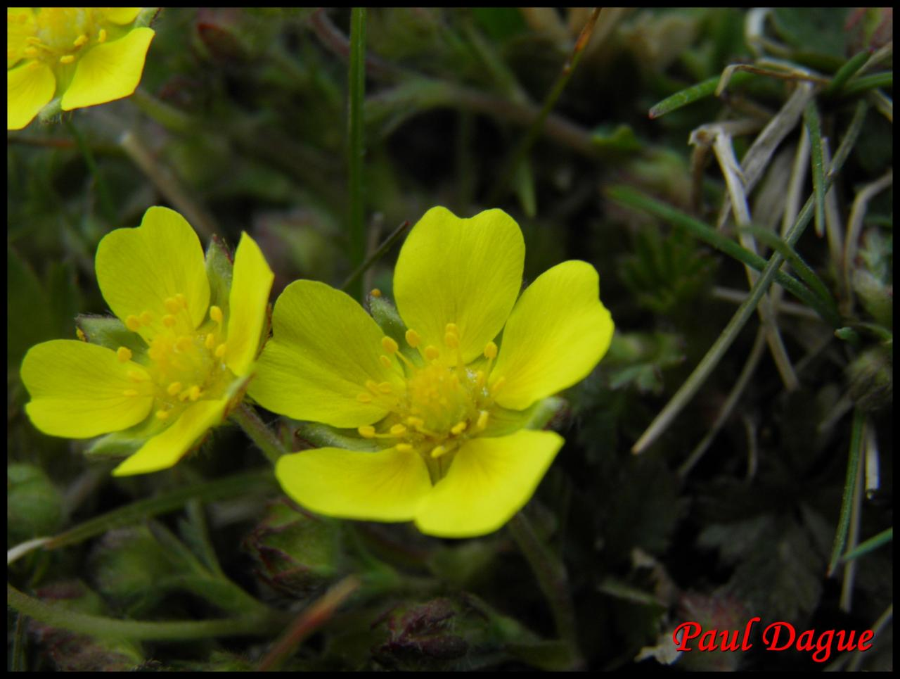 potentille du printemps-potentilla neumanniana-rosacée