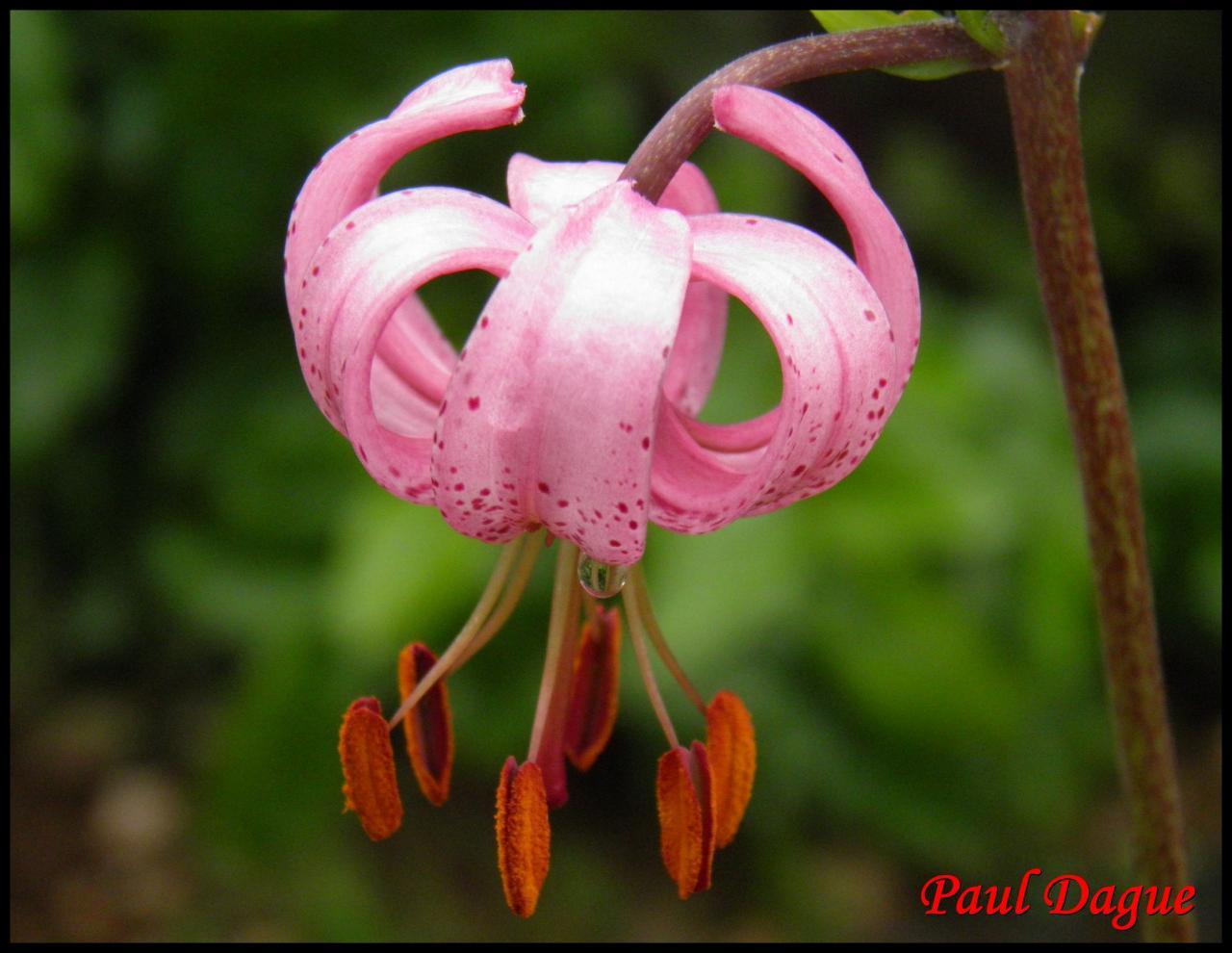 lis martagon-lilium martagon-liliacée