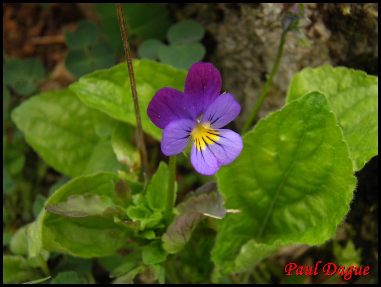 pensée tricolore-viola tricolor-violacée
