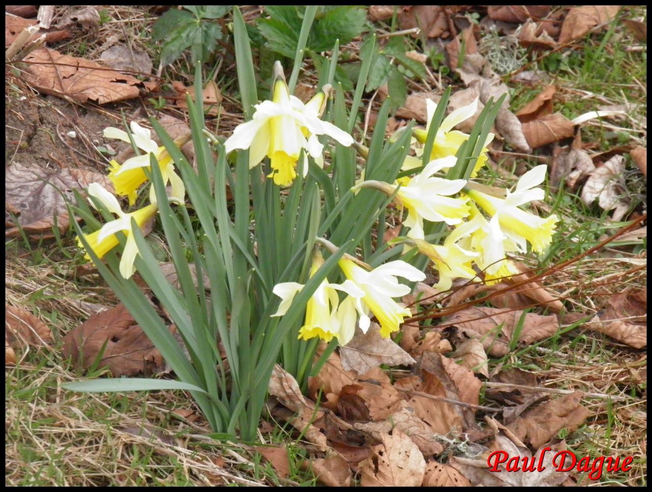 jonquille-narcissus pseudonarcissus-amaryllidacée