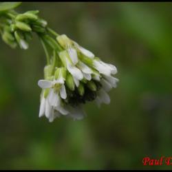 arabette hérissée , poilue-arabis hirsuta-brassicacée