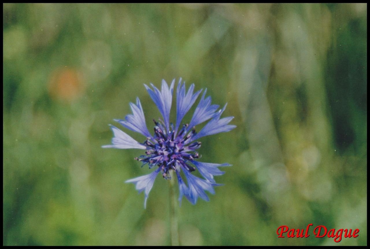 fleurs bleues en capitule