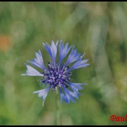 bleuet-centauréa cyanus-asteracée