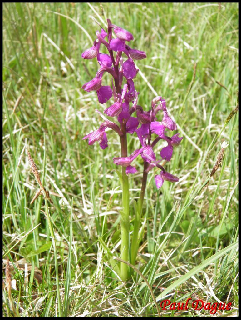 orchis bouffon-anacamptis morio-orchidacée