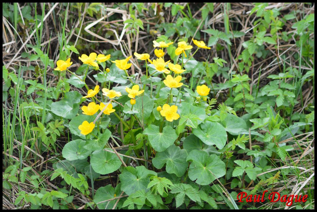 populage des marais-caltha palustris-ranunculacée