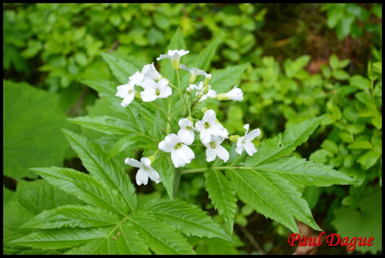 dentaire à 7 folioles-cardamine heptaphylla-brassicacée