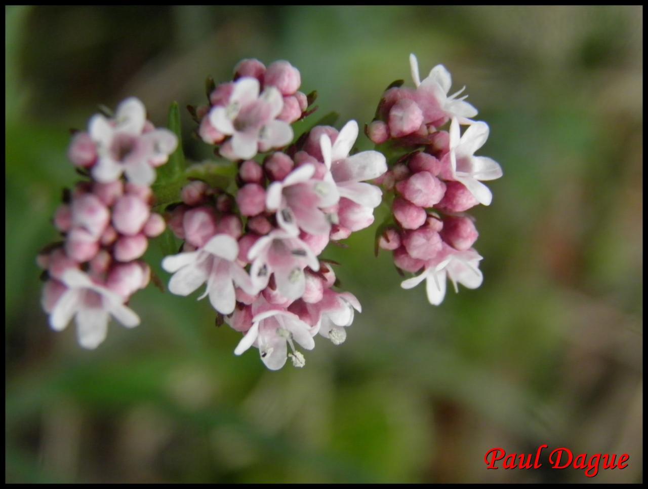 valariane dioîque-valeriana dioica-valarianacée