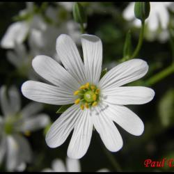 céraiste des champs-cerastium arvense-caryophylacée
