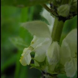 ortie blanche-lamium album-lamiacée