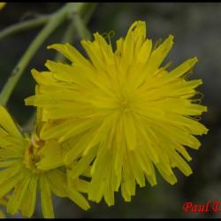 crépide bisannuelle-crepis biennis-asteracée