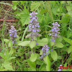 bugle de Genève-ajuga genevensis-lamiacée