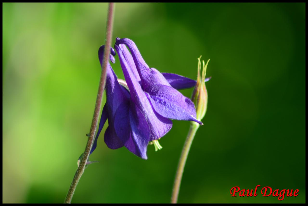 ancolie-aquilegia vulgaris-ranunculacée