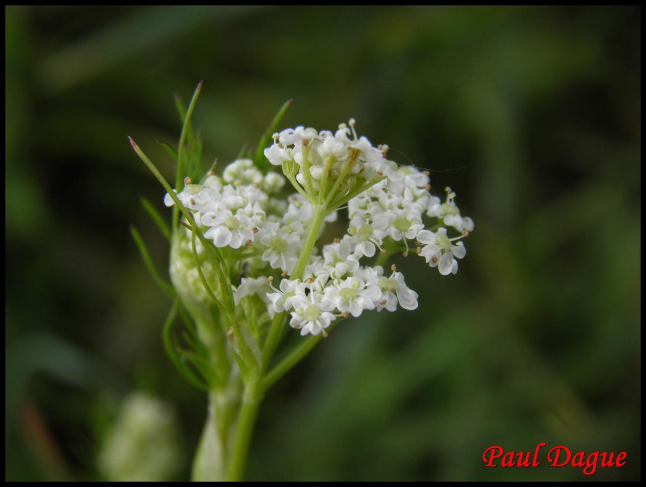 cumin des prés-carum carvi-apiacée