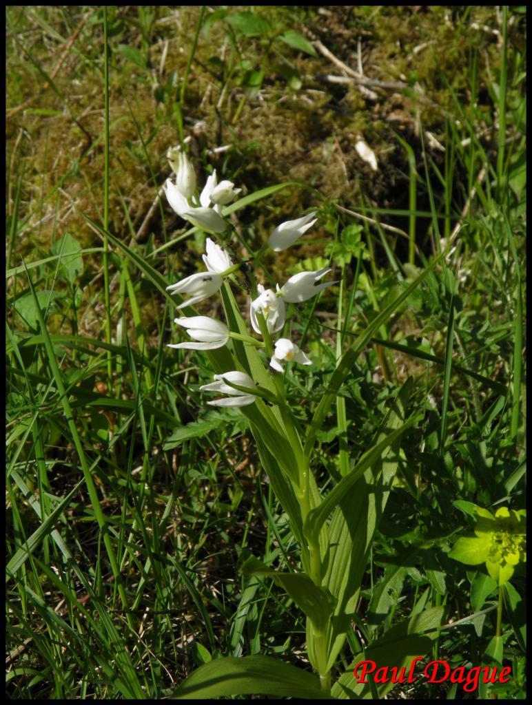 céphalanthère à feuilles étroites-cephanlanthera longifolia-orchidacée