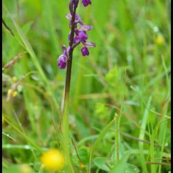 orchis à fleurs lâches-anacamptis laxiflora-orchidacée