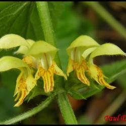 ortie jaune-lamium galeobdolon-lamiacée