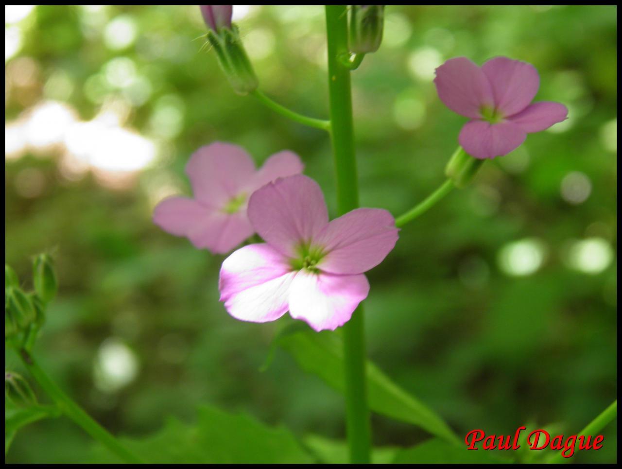 julienne des dames-hesperis matronalis-brassicacée