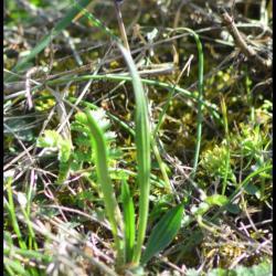 petit muscari-muscari botryoides-hyacinthacée