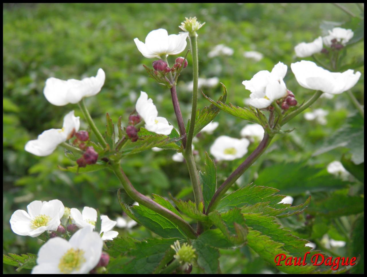 renoncule à feuilles d'aconit-ranunculus aconitifolius-ranunculacée