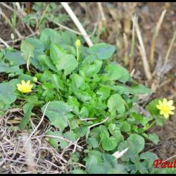 renoncule ficaire-ranunculus ficaria-ranunculacée