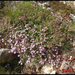 saponaire faux basilic-saponaria ocymoides-caryophyllacée