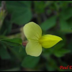 lotier pois-tetragonolobus maritimus-fabacée
