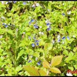 véronique petit chêne-veronica chamaedrys-scrophulariacée