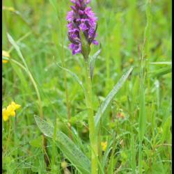orchis à feuilles larges-dactylorhiza majalis-orchidacée