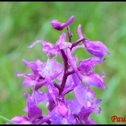 orchis mâle-orchis mascula-orchidacée
