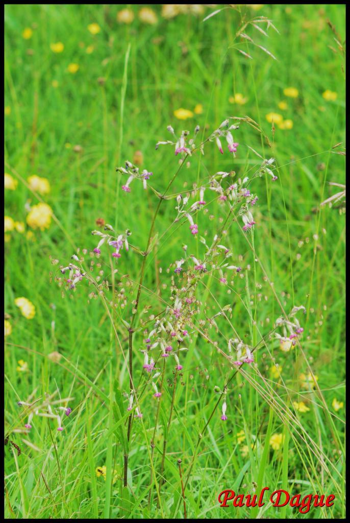 silène penché-silene nutans-caryophyllacée