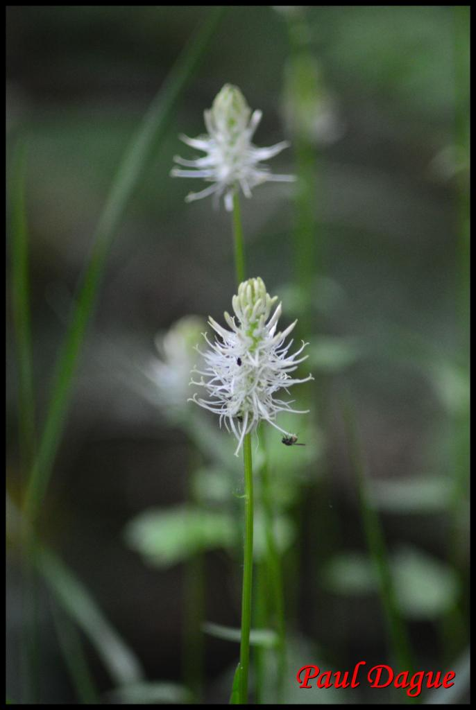 raiponce en épi-phyteuma spicatum-campanulacée
