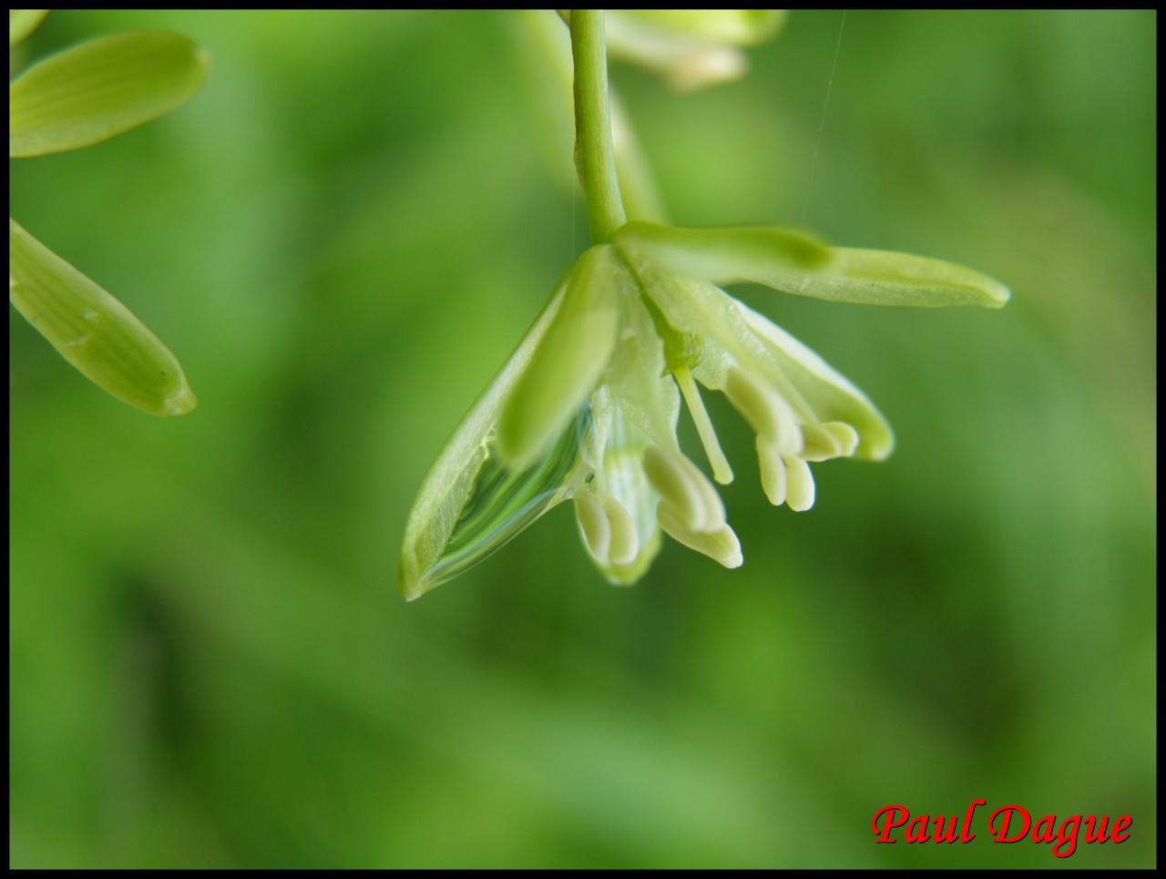 ornithogale des Pyrénées-ornithogalum pyrenaicum-hyacinthacée