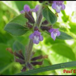 sariette des champs-acinos arvensis-lamiacée