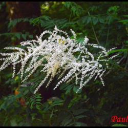 reine des bois-aruncus dioicus-rosacée