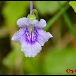 grassette à grandes fleurs-pinguicula grandiflora-lentibulariacée