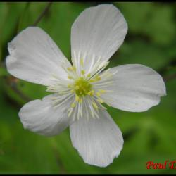 renoncule à feuilles de platane-ranunculus platanifolius-ranunculacée