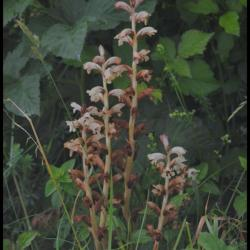 orobanche du gaillet-orobanche caryophyllacea-orobanchacée