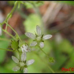 saxifrage à feuilles rondes-saxifraga rotundifolia-saxifragacée