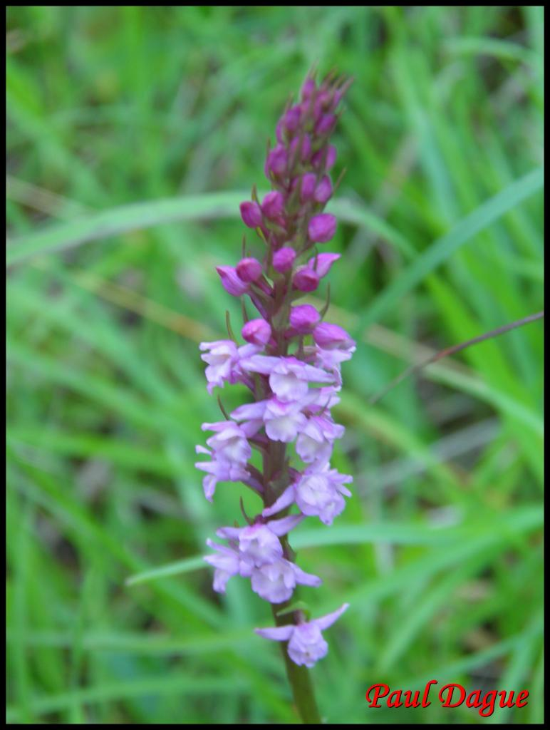 gymnadène odorante-gymnadenia odoratissima-orchidacée
